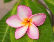 Конец-вверх красивого розового plumeria Стоковая Фотография RF
