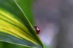 Конец-вверх красивого ladybug в саде Стоковые Изображения RF