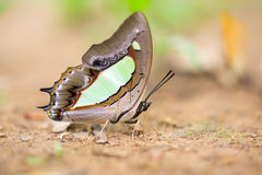 Конец-вверх красивой бабочки отдыхая на том основании стоковое фото