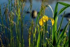 Конец-вверх красивой желтой радужки и других заводов на реке рано утром Концепция сезонов, Стоковое Изображение RF