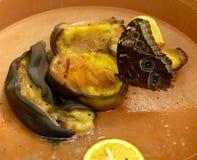 Конец-вверх красивой тропической бабочки сыча, плодоовощи Caligo Memnon подавая Стоковая Фотография RF