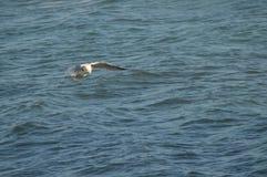 Конец-вверх красивой чайки, природа, Seascape, Сицилия, Италия, Европа стоковые изображения