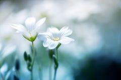 Конец-вверх 2 красивых белых цветка на дневном свете запачкал backgro Стоковая Фотография