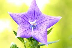 Конец вверх красивых голубых цветка воздушного шара или gran Platycodon Стоковое Изображение RF