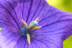 Конец вверх красивых голубых цветка воздушного шара или gran Platycodon Стоковые Изображения RF