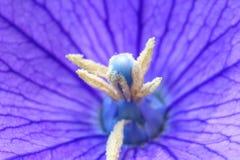 Конец вверх красивых голубых цветка воздушного шара или gran Platycodon Стоковые Изображения