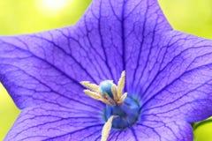 Конец вверх красивых голубых цветка воздушного шара или gran Platycodon Стоковые Фотографии RF
