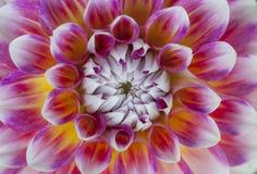 Конец-вверх красного и желтого цветка георгина с белыми краями Стоковые Изображения