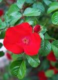 Конец-вверх красного собак-Розы Стоковое фото RF