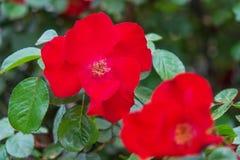 Конец-вверх красного собак-Розы Стоковая Фотография