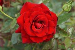 Конец-вверх красного цветка с бутоном кавказца розы стоковые фотографии rf