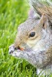 Конец-вверх красной белки есть арахисы в парке ` St James, Лондоне Стоковая Фотография