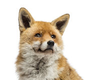 Конец-вверх красной лисы смотря вверх, изолированная лисица лисицы, Стоковые Фото