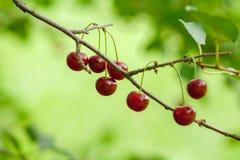 Конец-вверх красных зрелых вишен на ветви дерева Стоковые Изображения