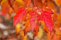 Конец-вверх красных листьев дерева клена Амура стоковое изображение rf