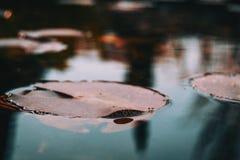 Конец-вверх красных лист аквариумного растени в озере стоковое изображение
