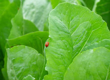 Конец-вверх 2 красных ladybugs делая влюбленность на краю ярких ых-зелен лист Стоковая Фотография RF