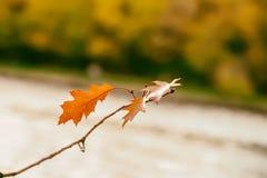 Конец-вверх красочной ветви дуба осени с апельсин-коричневыми листьями против предпосылки расплывчатого леса осени, осени Стоковые Изображения RF