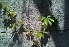 Конец-вверх листьев диких виноградин на фоне грубой серой поверхности с темными тенями стоковые фото