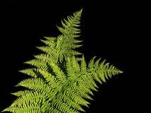 Конец-вверх 2 листьев папоротника растя в изображение стоковые изображения