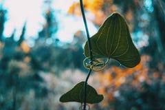 Конец-вверх лист aspera сассапарели стоковое фото rf