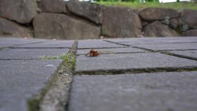 Конец-вверх личинка цикады или нимфа cicade вползая на камнях флага видеоматериал