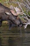 Конец-вверх лосей Bull выпивая от реки Стоковая Фотография