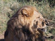 Конец-вверх льва лежа в солнце на равнине Ботсваны стоковое изображение