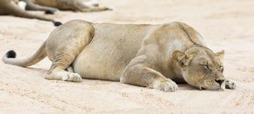 Конец-вверх львицы лежа вниз для того чтобы спать на мягком песке Kalahari Стоковая Фотография RF
