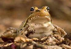 Конец-вверх лягушки леопарда Стоковые Фото