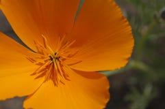 Конец-Вверх мака Калифорнии Стоковые Фотографии RF