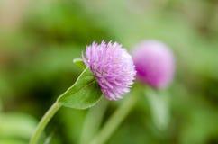 Конец-вверх макроса цветка кнопки амаранта или холостяка глобуса снял в природе Стоковое фото RF