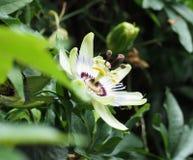 Конец-Вверх макроса экзотического цветка маракуйи Стоковое Изображение