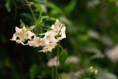 Конец-вверх маленьких белых цветков над темной, зеленый цвет, запачканная предпосылка Стоковые Фотографии RF