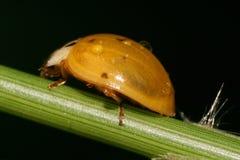 Конец-вверх маленького ladybug с падениями воды на зеленом стержне стоковые изображения rf