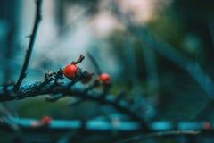 Конец-вверх малых красных ягод thunbergii барбариса на ветви Стоковые Фотографии RF