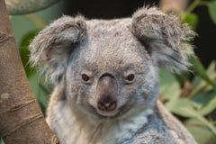 Конец-вверх медведя коалы Стоковое Изображение RF