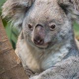 Конец-вверх медведя коалы Стоковые Изображения