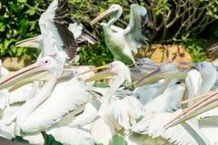 Конец-вверх много больших птиц белого пеликана ждать еду Стоковая Фотография
