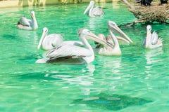 Конец-вверх много больших птиц белого пеликана Стоковая Фотография RF