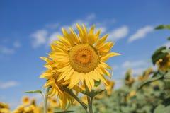 Конец-вверх 2 молодой солнцецветов, один солнцецвет пряча после других против голубого неба Стоковое Изображение
