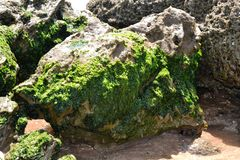 Конец-Вверх морской водоросли на утесах стоковая фотография rf