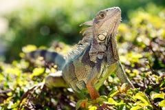 Конец-вверх мужской зеленой игуаны в ем естественн Стоковая Фотография RF