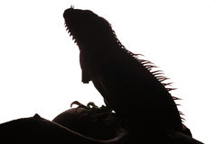 Конец-вверх мужской зеленой игуаны (игуана игуаны) Стоковые Фото