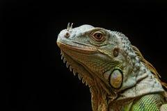 Конец-вверх мужской зеленой игуаны (игуана игуаны) Стоковые Фотографии RF