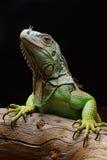 Конец-вверх мужской зеленой игуаны (игуана игуаны) Стоковые Изображения RF