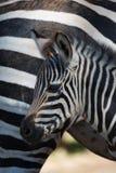 Конец-вверх младенца зебры Grevy матерью Стоковая Фотография RF