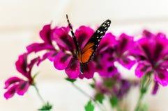 Конец-вверх на бабочке тигра longwing Стоковые Изображения RF