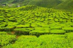 Конец-вверх на гористых местностях Камерона, Малайзия завода чая Стоковые Фотографии RF