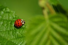 Конец-вверх на сладком маленьком ladybug стоковые изображения rf